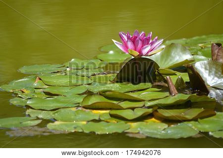 Water lily Latin name Nymphaea Weymouth Red