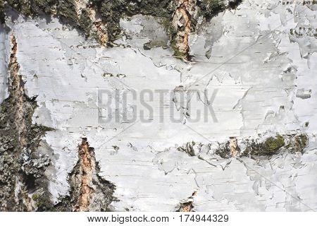 White wood texture close-up, birch trunk texture, birch bark natural texture background