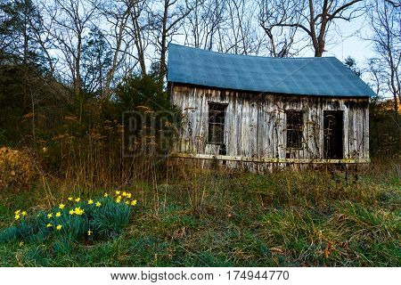 Old weathered homestead in Arkansas by a field located next to the woods. Daffodils are blooming by it.