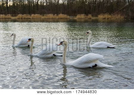 Swans. Flock of swans. Swans at the lake