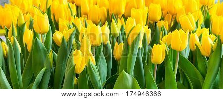 Colorful yellow tulips flowerbed, spring flower garden, banner panoramic background
