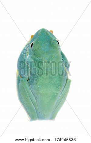 Malabar flying tree frogling, Rhacophorus malabaricus, isolated on white background