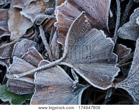 Close-up of frosted ginkgo biloba leaf on ground