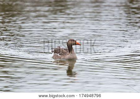 Side View Portrait Of Swimming Gray Goose (anser Anser)