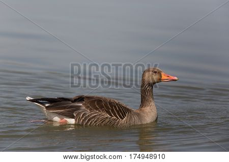 Portrait of one natural gray goose (anser anser) swimming in water