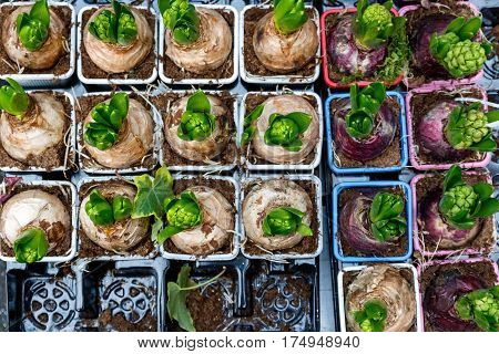 Sprouting hyacinth bulbs on display at Borough Market in London