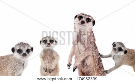 The meerkats or suricates, Suricata suricatta, isolated on white