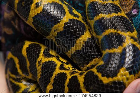 Yellow snake anaconda, closeup on colour background