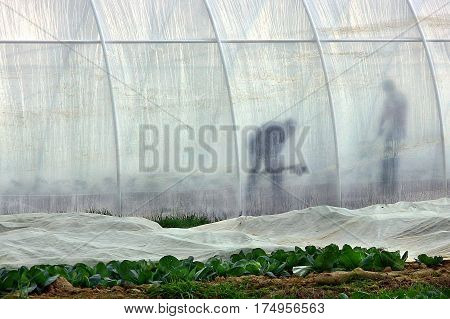 Zarechye Ukraine - April 19 2012: Local farmers work in the greenhouse on the plantations of early cabbage during field work in the springtime.