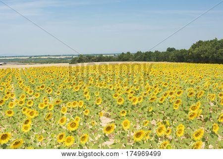 Beautiful sunflower field in the southern Moravia, Czech Republic