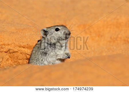 Alert whistling rat (Parotomys brantsii), Kalahari desert, South Africa