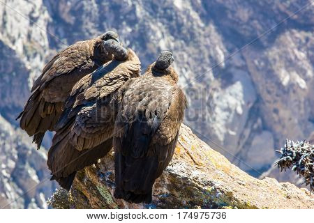 Three Condors at Colca canyon sittingPeru South America. This is a condor the biggest flying bird on earth
