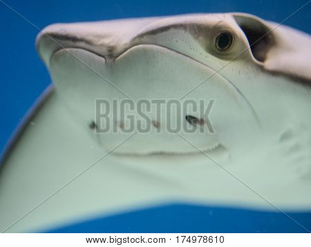 funny happy shark ray skate with tranquility smile