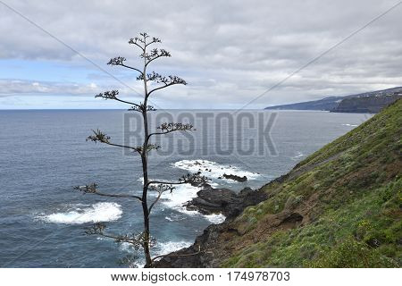 Dried Agave inflorescence (Agave americana) with coastline and sea in background picture from Puerto de la cruz.