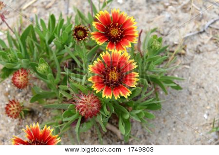 Indian Blanket Flower in the sand at the beach poster