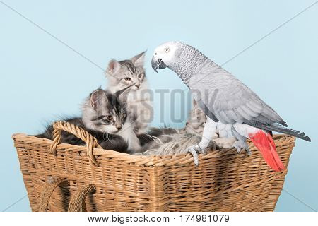 Grey red tale parrot and young maine coon kittens in basket on blue