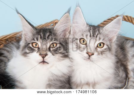 Maine coon kittens on blue background