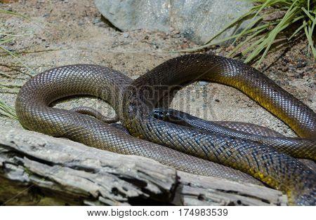 one braun and very poisen snake inland taipan poster