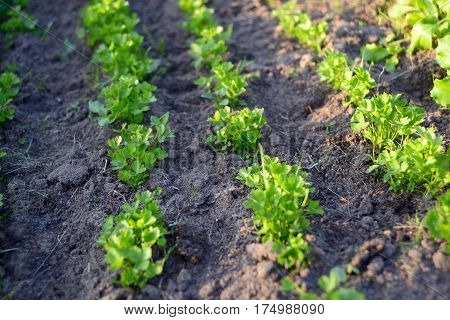 Young parsley grows on a kitchen garden