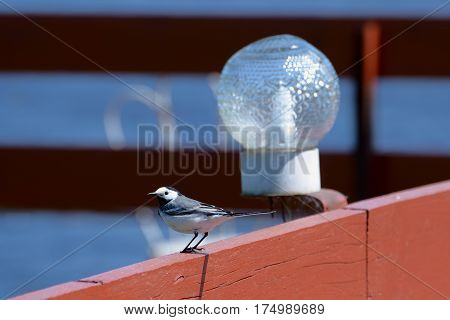 White wagtail sitting on a wooden railing