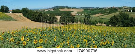 Field of sunflowers of Monterrato on Piedmont, Italy