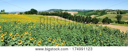 Field Of Sunflowers Of Monterrato On Piedmont