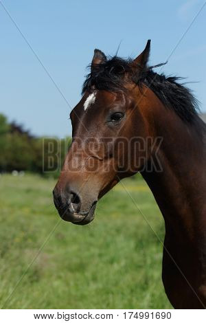 Beautiful horse on a meadow in summer
