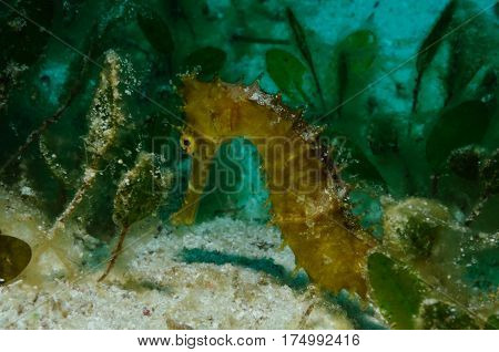 Sitting on a sandy bottom sea horse is surrounded by a thick vegetation of a spoon sea grass, Panglao, Philippines