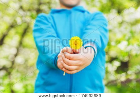 Closeup of small hands holding yellow dandelion flower. Anonymous funny little boy isolated over green blooming trees background. Spring time concept.