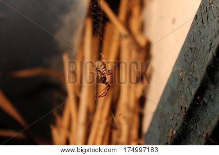 Spider hanging on net against straw background. Rusted space corner in barn with spider hanging on net.