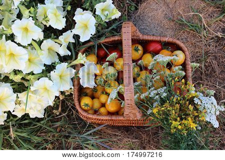 Basket full of yellow and red tomatoes with flowers and herbs. Garden view of basket with tomatoes and herbs with petunia flowers growing in border.