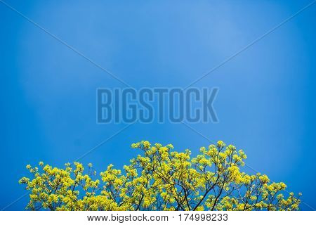 Beautiful spring tree with new leaves isolated over bright blue sky. Nature background. Horizontal color photography
