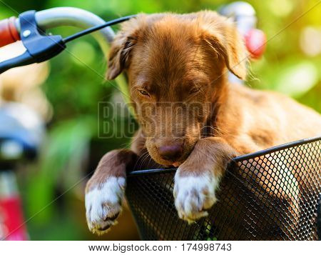 Brown Puppy In Bicycle Basket
