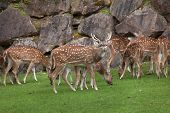 Chital (Axis axis), also known as the spotted deer or axis deer. poster