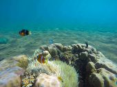 Underwater landscape with clown fish in actinia. Clownfish undersea photo. Clean blue sea lagoon with coral reef. Oceanic ecosystem. Underwater photography for wallpaper. Tropical seashore ecosystem poster