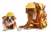 working dogs - english bulldog and dogue de bordeaux dressed like very tire construction workers on white background poster