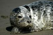 This very young Seal Pup was found left by it's mother on a Washington beach. poster
