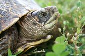 a box turtle trying to go across a feild poster