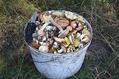 Gathering wild mushrooms in the bucket. Suillus is a genus of basidiomycete fungi in the family Suillaceae and order Boletales. Mushroom hunting. poster