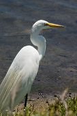Great Egret looking out to the water in wetlands poster