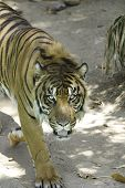 View down onto a tiger as it stalks and stares at camera poster
