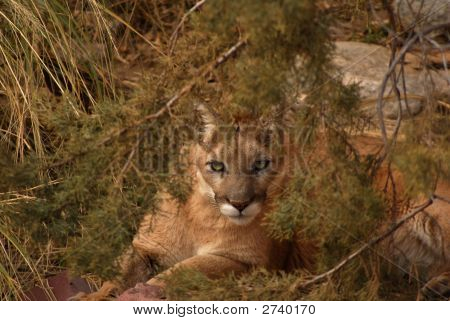 A mountain lion or cougar stares at the viewer. poster