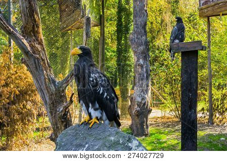 Stellers Sea Eagle Sitting On A Rock With Another Sea Eagle In The Background, A Threatened Bird Spe