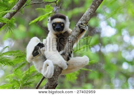 tanzen Sifaka (Lemur)