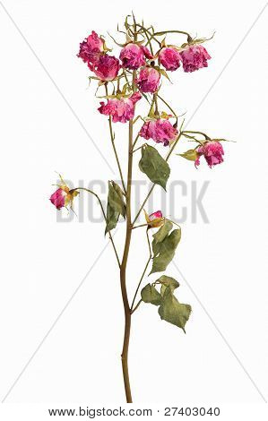 Branches With Clusters Of Small Dried Roses