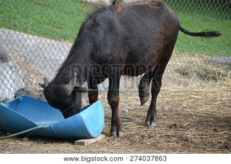 The Water Buffalo Is A Domesticated Bovine