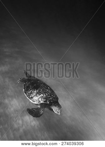 Black And White Conceptual Image With Sea Turtle Gliding Over Ocean Floor In Foreground Corner And O