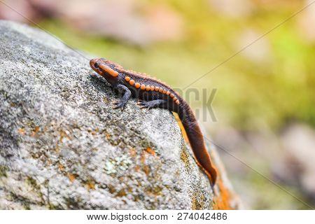 Salamander On The Rock Wildlife Reptile Crocodile Salamander Spotted Orange And Black Rare Animals