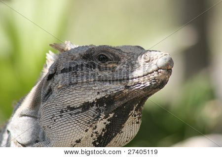 A Mexican Iguana at the coastal temple of Tulum