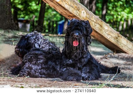 Two Big Dogs Of Russian Black Terrier Breed Lay On The Ground. Outdoors, Sunny Day, Dog Sport Ajilit